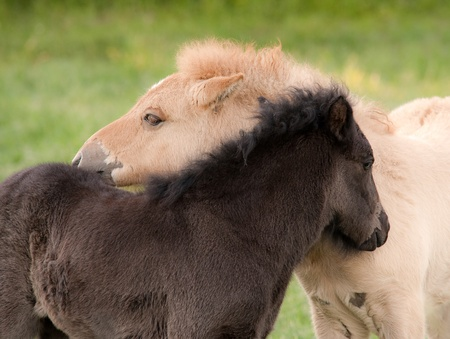 encounter: Two young foals against each other in pasture.