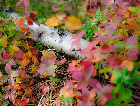 Mouldering birch lay down on the color bed of nature. photo