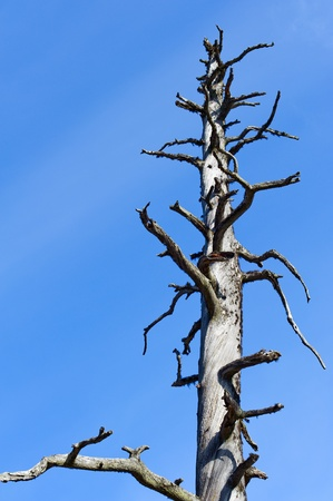 Gray pine snag and the blue sky on the background. photo