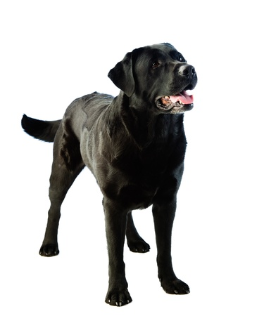 A standing labrador dog and white background Stock Photo - 13514673
