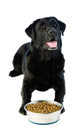 A laying labrador dog waiting a permission at eat  photo