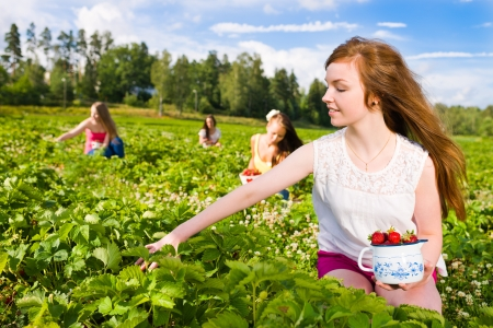 Harvesting girl on the strawberry field. Focus on her and behind group of girls, horizontal format photo