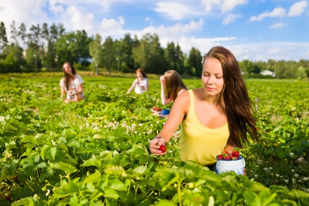 Harvesting girl on the strawberry field. Focus on her and behind group of girls, horizontal format Stock Photo
