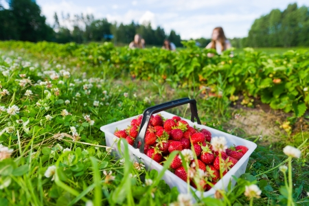 Full basket of strawberries. Focus on basket and group of girls behind, horizontal format Banque d'images