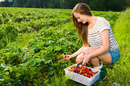 Girl inspect strawberries on field and she pick ripe ones to the basket Standard-Bild