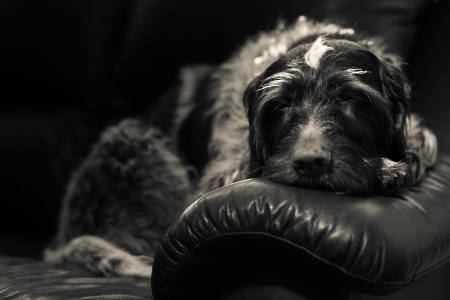 Wire-haired german pointer sleeps on the couch, black and white image photo