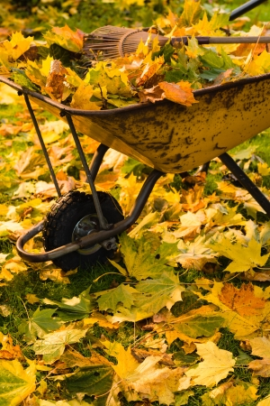 The wheelbarrow is full of a maple leafs, vertical format