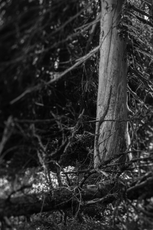 underbrush: Old snags on gloomy forest, black and white image