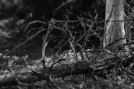 moulder: Old snags on gloomy forest, black and white image