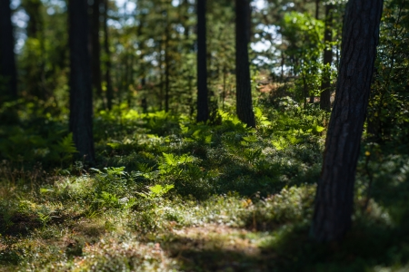 undergrowth: Scandinavian forest, undergrowth and pines, sunny day