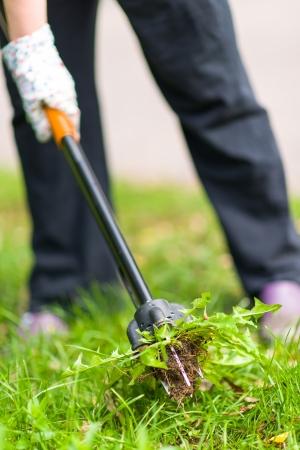 여자는 뿌리, 민들레 잡초를 뽑아 스톡 콘텐츠 - 21975912