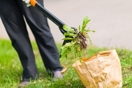 Woman pulling weeds out, dandelion with a roots Standard-Bild