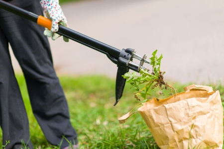 Woman pulling weeds out, dandelion with a roots Stock Photo