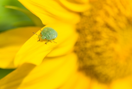 Green stink bug sitting on a leaf, close-up sunflower Stock Photo - 21982262