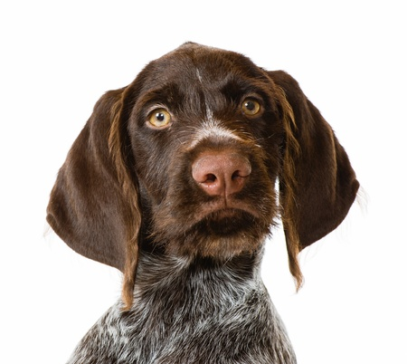 head shot: Playing German wire-haired pointer puppy, 12 weeks old, white background Stock Photo