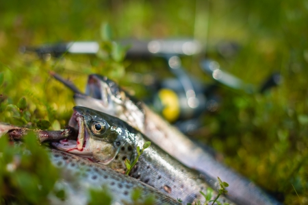 Three trout has got to catch, close-up, horizontal image photo