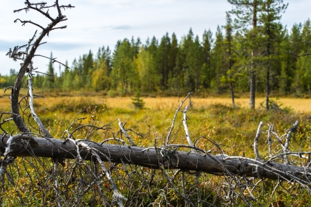 Fallen old snag on the mire, Lapland wilderness photo