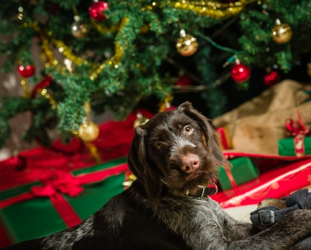 German wirehaired pointer puppy playing with a shoe, Christmas tree and gifts on background photo