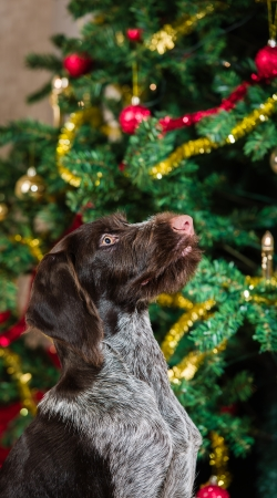 Sitting German wirehaired pointer puppy, Christmas tree on background Stock Photo - 23654954