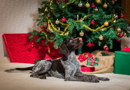 Lying German wirehaired pointer puppy, Christmas tree on background photo