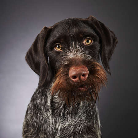 Close up portrait of one years old purebred German wire-haired pointer, studio shot photo