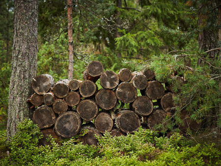sawn: Firewood, sawn pine trunks, stacked neatly between the two trunks