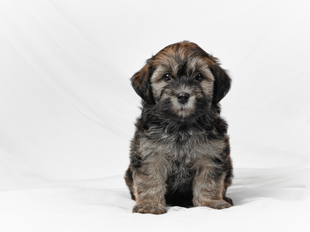 havanais: Bichon havanese puppy and white canvas background, age seven week