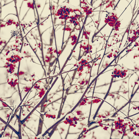 tinted: Rowan berries and snow - tinted color image