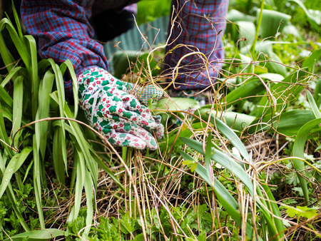 Woman weeding in the garden and she use protective gloves Standard-Bild