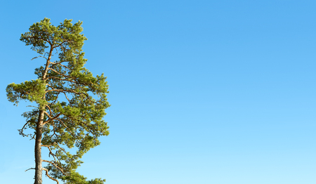 pine green: One pine tree and cloudless blue sky, copy space