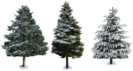 snowcovered: spruce covered with snow isolated on white background