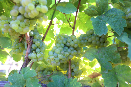 ripe white grapes in the warm sunshine, agriculture Stock Photo