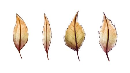 Set of autumn colorful watercolor leaves. Isolated on a white background.
