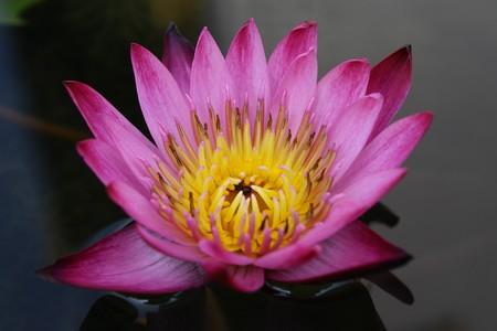 lotus in pool Stock Photo - 7290887