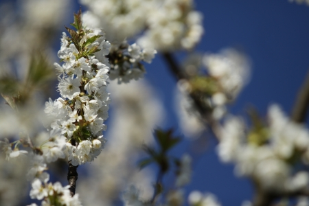 Flowering appletree photo
