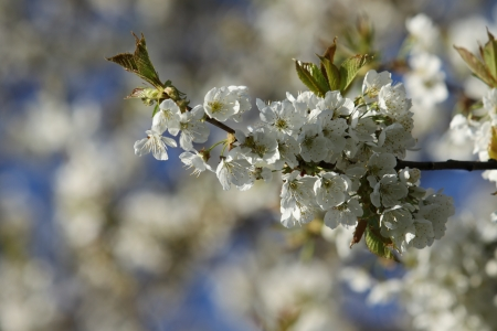 Flowering appletree - spring, Czech Republic photo
