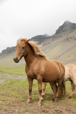Beautiful Icelandic horses photo