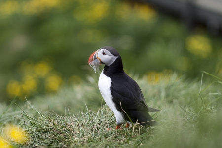 Beautiful puffin from Iceland photo