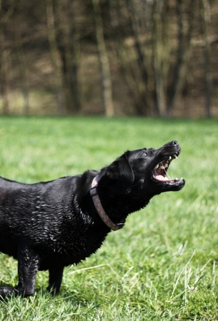 enraged: Aggressive black retriever on grass