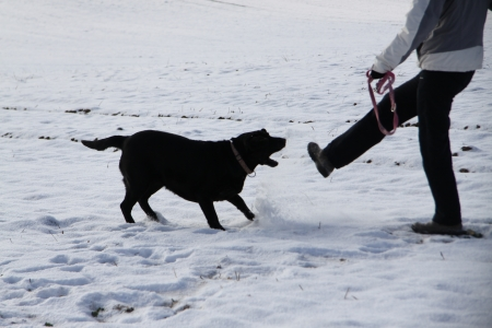 Aggressive black retriever on snow Stock Photo - 15514038