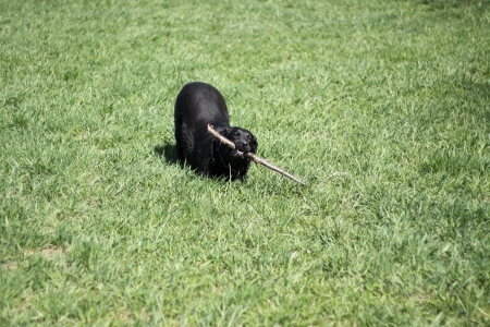 returning: Black labrador is playing with branch