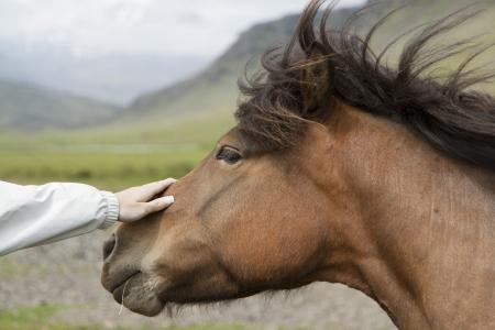 Beautiful Icelandic horses Stock Photo