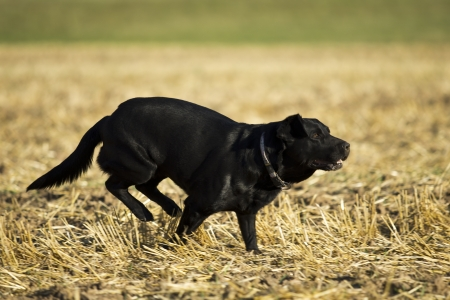 Beautiful black retriever  labrador photo