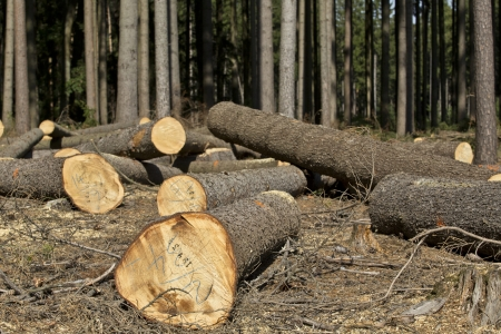 Wood logging in the forest - trees Stockfoto