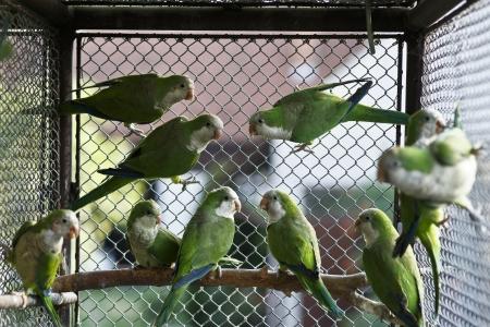 loros verdes: par de loros verdes - Quarker Parrakeet