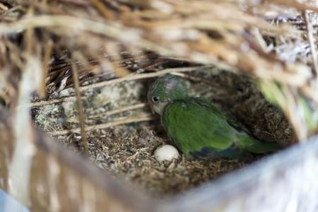 quaker: Young green parrot in the nest - Quarker Parrakeet Stock Photo