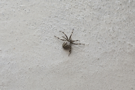 Spider on the white wall photo