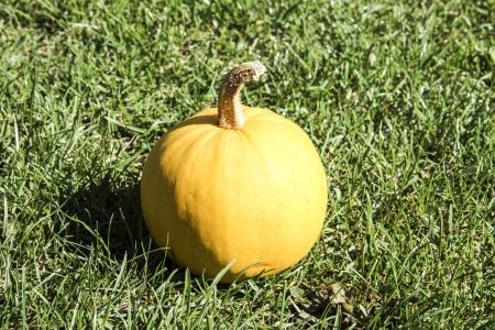 beautiful pumpkin on the grass photo