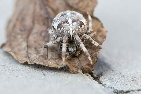 big awesome orb spider on the brown leaf photo