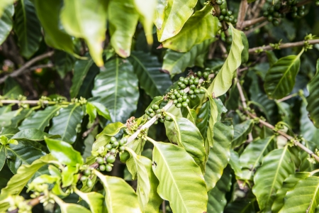 Coffee beans in the nature - Hawaii photo
